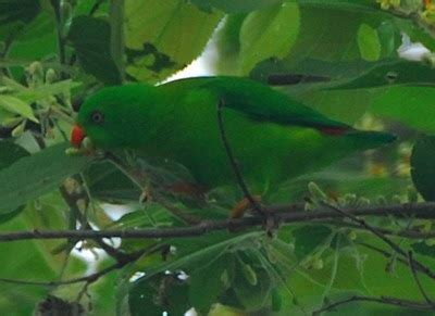 Cara Budidaya Cacing Nan serindit jawa yellow throated hanging parrot info