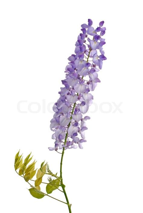 getting wisteria to bloomm wisteria flowers stock photo colourbox