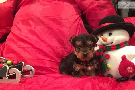 are teacup yorkies hypoallergenic terrier yorkie puppy for sale near chicago illinois 928b215d 5161