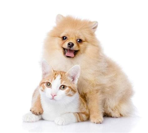 pomeranian and cats 170 best images about pomaranians on teacup pomeranian puppy pom poms and