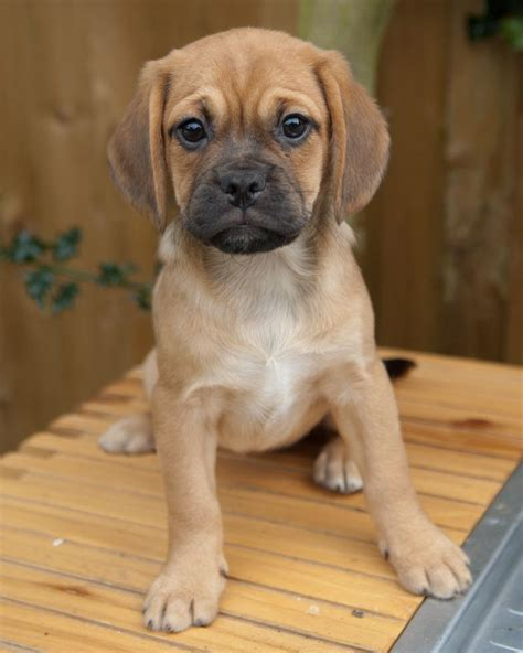 puggle puppies for sale a random survey survey