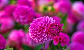 hd flower images dahlia flower hd wallpapers hd wallpapers high definition free background