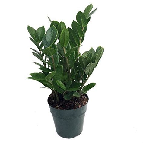 where can i buy house plants rare zz plant zamioculcas zamiifolia easy to grow house plant 4 quot pot indoor