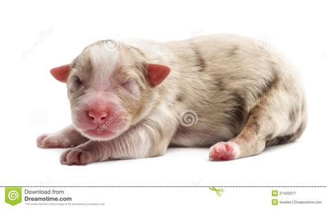 1 day puppy australian shepherd puppy 1 day lying royalty free stock photography image