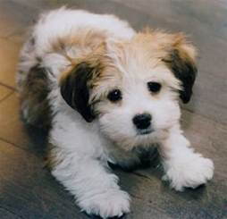 25 best ideas about cutest small breeds on