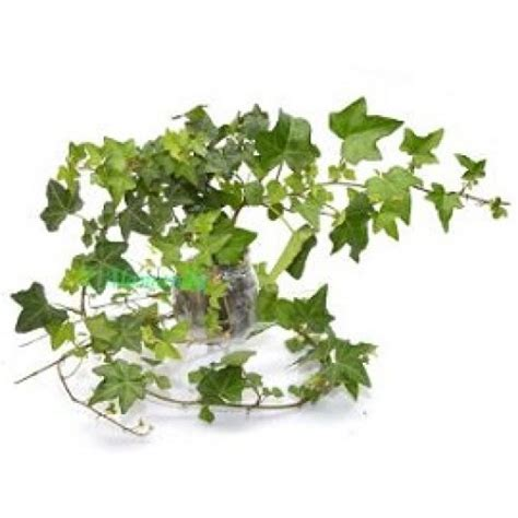jual tanaman hias english ivy hp