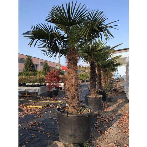 palme in vaso bellissime palme da giardino piscine balconi palma in