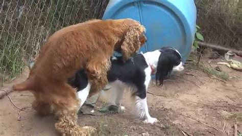 dogs mating dogs mating attempt 3