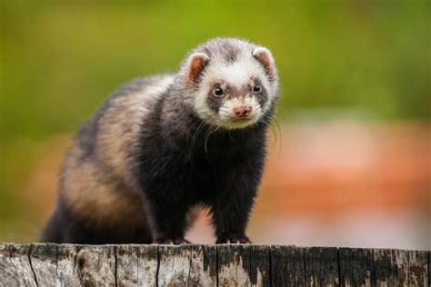 hind leg weakness hind leg weakness in ferrets symptoms causes diagnosis treatment recovery