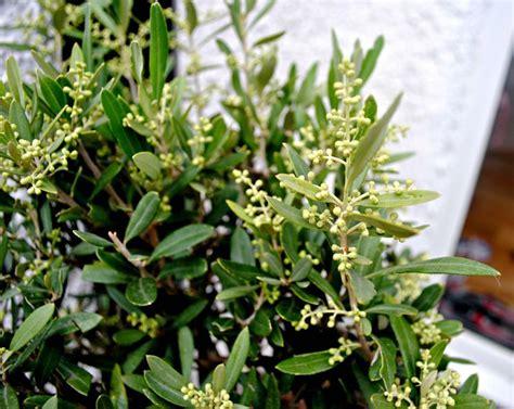 olivo in vaso olivo in vaso alberi da frutta come coltivare l olivo