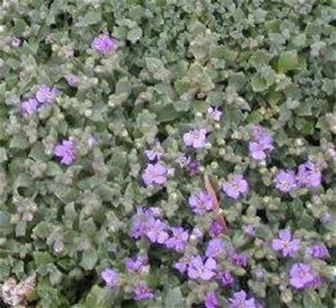 piante tappezzanti fiorite le piante erbacee perenni speciali