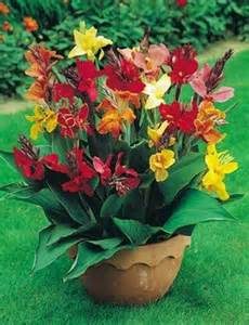 25 best ideas about canna lily on pinterest tiger lily