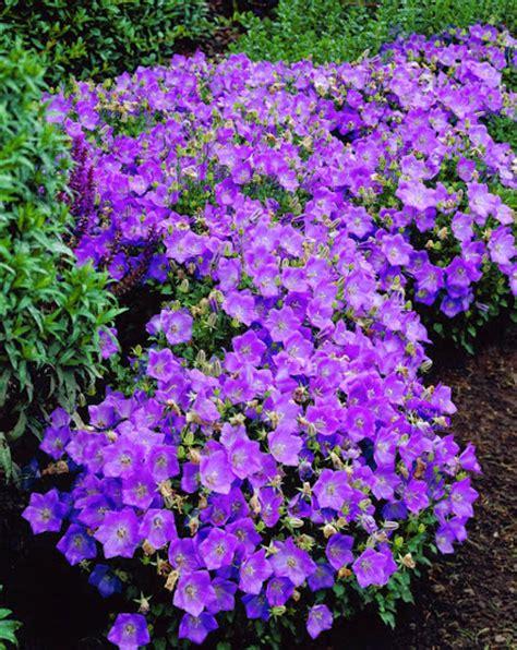 fiori perenni da bordura bassa bordura aiuola di piccoli arbusti e erbacee perenni