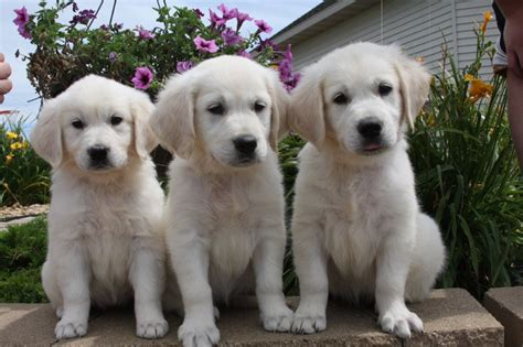 golden retriever breeders in minnesota akc white creme golden retriever puppies minnesota mn golden