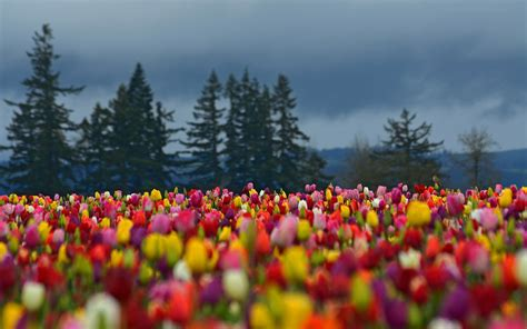 field of flowers pictures free tulip flowers hd wallpapers free