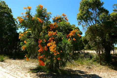 bushland australia wildflowers around perth birds animals