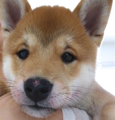 japanese shiba inu japanese shiba inu puppy for sale newcastle lyme staffordshire pets4homes