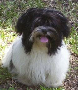 havanese origin havanese history temperament american kennel club