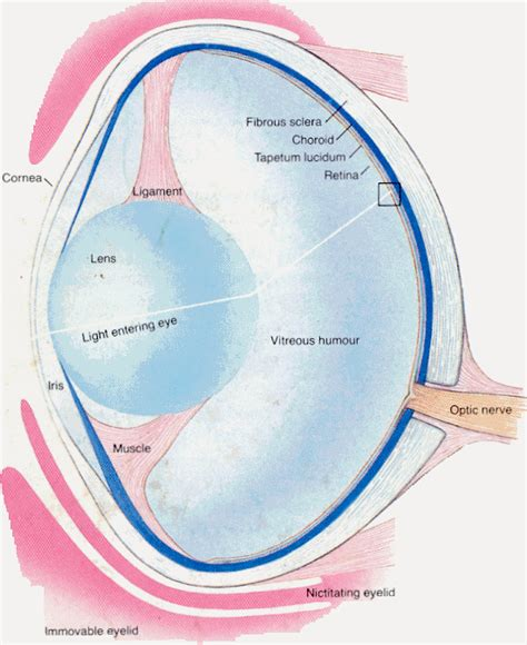 shark eye diagram about using sharks as food in medicine and skin care shark