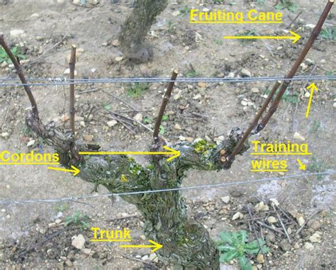when to cut back a grapevine pruning bushes brambles and vines philadelphia orchard project