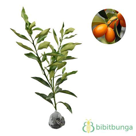 Tanaman Jeruk Nagami Bundar 1 tanaman jeruk nagami nagami kumquat bibitbunga