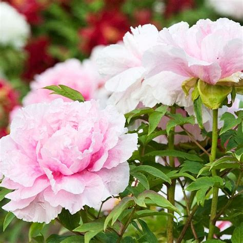 peony the best varieties for your garden books 17 best images about peonies in central tx on