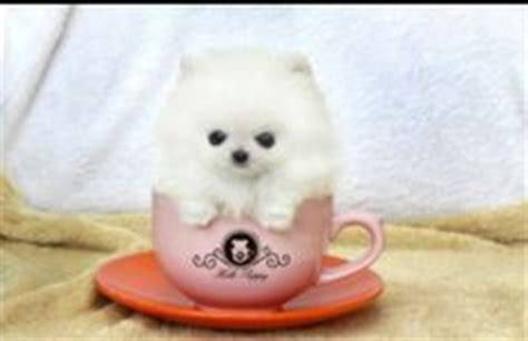 snowball pomeranian 1000 images about tea cup pomeranian on pomeranians teacup pomeranian
