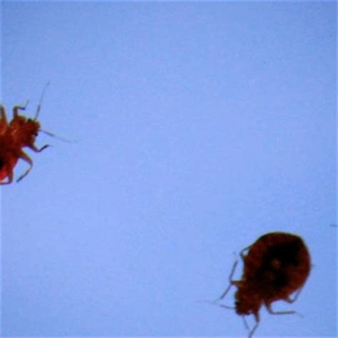bed bug habitat bed bug habitat 28 images surprising facts about bed