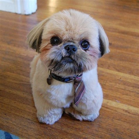 shih tzu stubborn 1000 ideas about shih tzu on shih tzu puppy shih tzu and pit bull mix