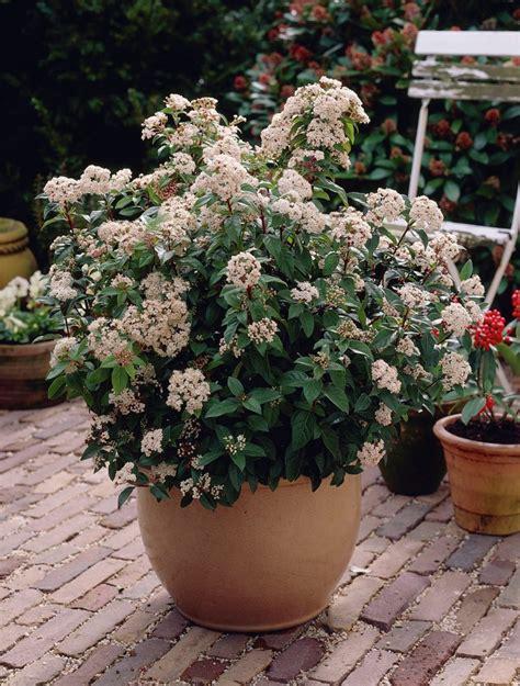 winter flowering shrubs for containers viburnum tinus shrub although shorter in pot