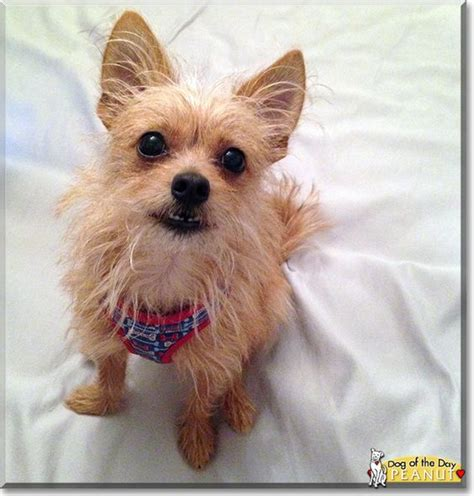 chihuahua terrier mix puppies of the day peanuts and the day on