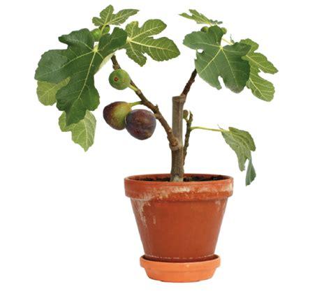 fico in vaso giardinaggio coltivare il fico in vaso sul nostro