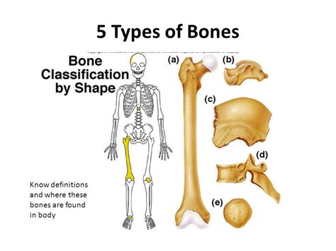 these are the bones that i want for my bathroom i love the skeletal system labelling the bones ppt video