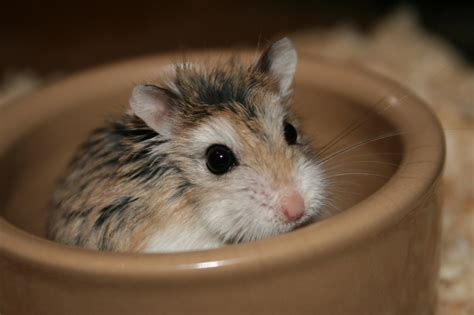 roborovski hamster related keywords suggestions roborovski hamster long tail keywords