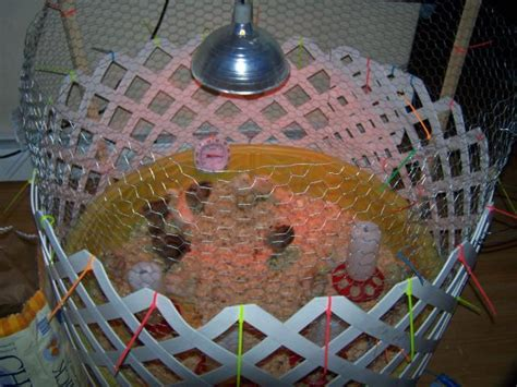 Backyard Ideas For Kids Isabrowneyedsues Chicken Brooder Backyard Chickens