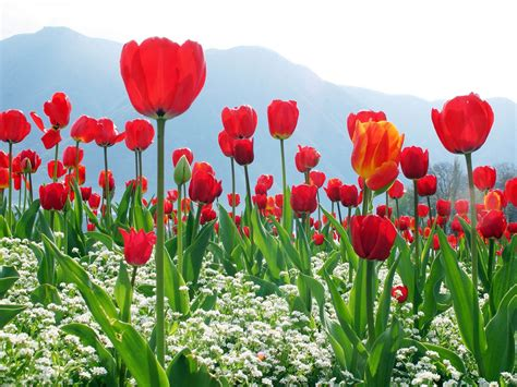 wallpaper tulips free wallpapers red tulips wallpapers