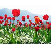Wallpapers Red Tulips