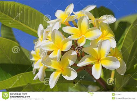 fiori hawaiani fiori hawaiani immagini stock immagine 4731814