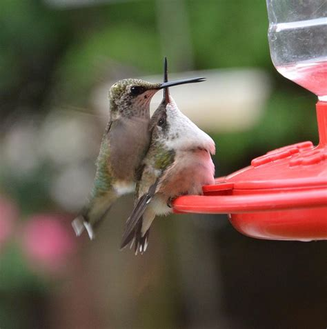 baby hummingbirds photograph by dorrie pelzer