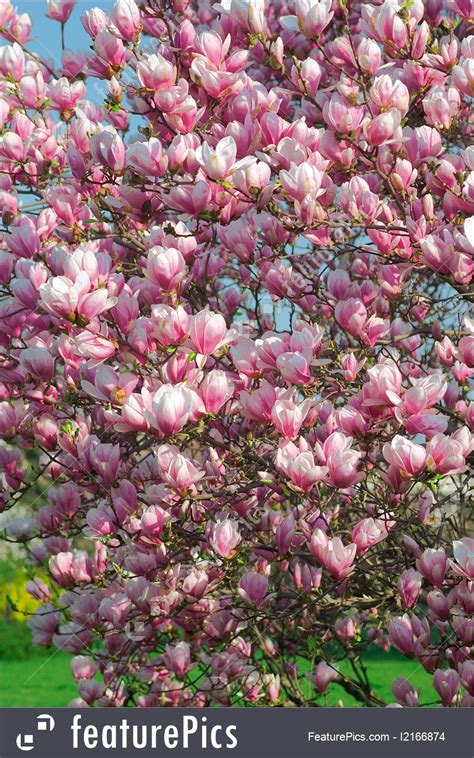 spring season blooming magnolia tree in april stock image i2166874 at featurepics
