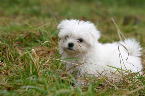 mini pup maltezer pups
