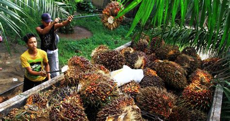 Minyak Kelapa Sawit Terbaru appksi minta hapus pungutan ekspor minyak sawit mentah