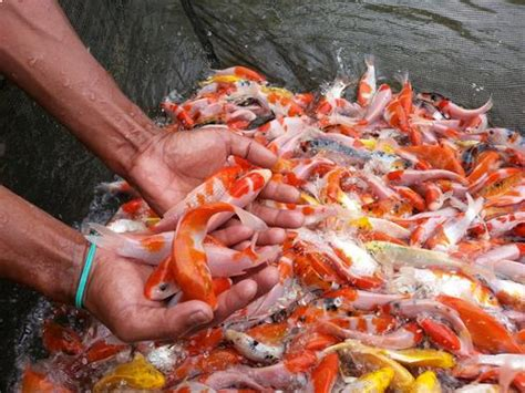 Bibit Ikan Koi Jepang daftar harga bibit ikan koi terlengkap januari 2019