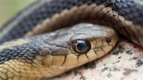 Garter Snake How To Get Rid Of by How Do You Get Rid Of Garter Snakes Reference