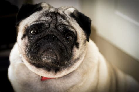 confused pug 13 things humans do that dogs dislike iheartdogs