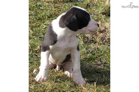 black and white great dane puppies uno akc black white great dane puppy great dane puppy for sale near