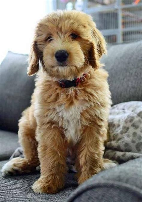 golden retriever cross poodle puppies toby is a golden retriever australian shepherd poodle mix now he is 70 pounds of