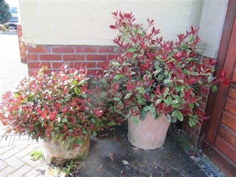 photinia in vaso photinia siepe piante da giardino caratteristiche