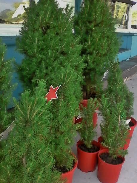 celebrate christmas with real christmas trees brisbane