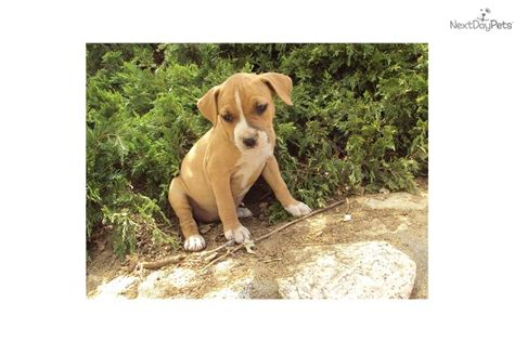 american staffordshire terrier puppies for sale near me american staffordshire terrier puppy for sale near inland empire california